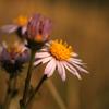 NaturissimaAnim_Gentiana_AsterAmelle100