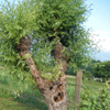 NaturissimaConf_Gentiana_arbreTetard100
