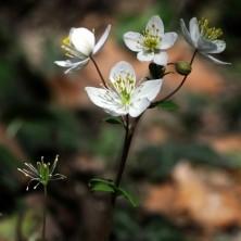 Seme sauvage grainothèque locale mnei gentiana