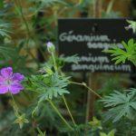 geranium seme sauvage gentiana